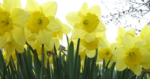 Daffodils 2 500 w IMG_2112