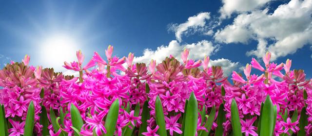 Hyacinths Pink
